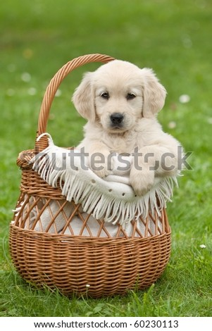 Golden Retriever puppy in a wicker basket - stock photo