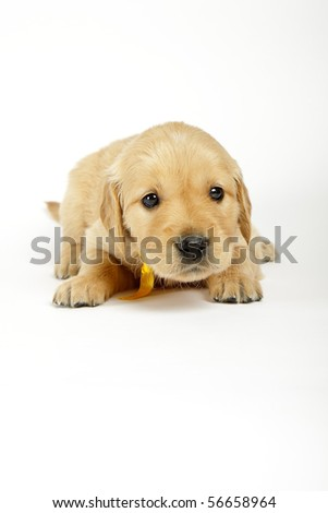 Golden retriever puppy in front of white background - stock photo
