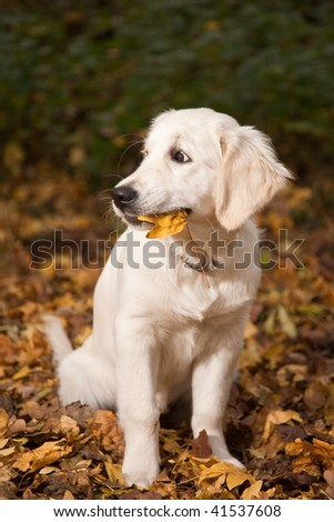Golden Retriever Puppy is playing in and with leafs with autumn colors. She's holding leaf in mouth - stock photo