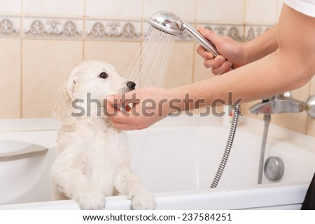 golden retriever puppy is taking a shower at home