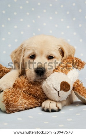 Golden Retriever puppy isolated on a blue background with a teddy bear - stock photo