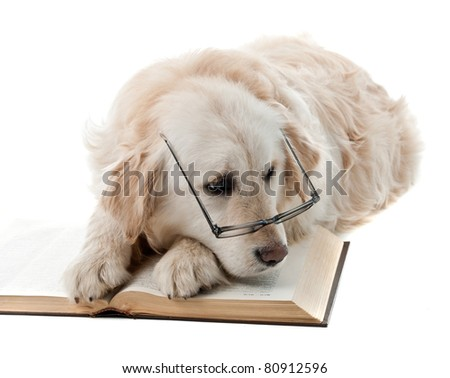 Golden retriever puppy isolated on white background and reading book - stock photo