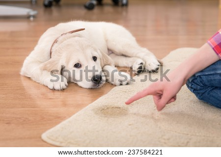 Golden retriever puppy looking guilty from his punishment - stock photo