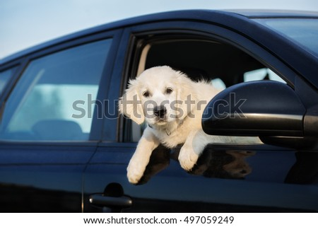 golden retriever puppy looking out of a car window