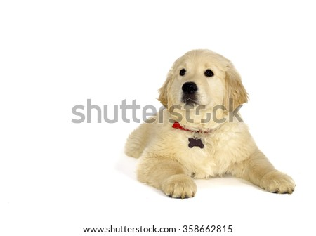 Golden retriever puppy lying and looking at the camera isolated