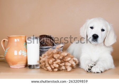 golden retriever puppy lying down - stock photo