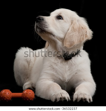 Golden Retriever Puppy lying down with pet toy - stock photo