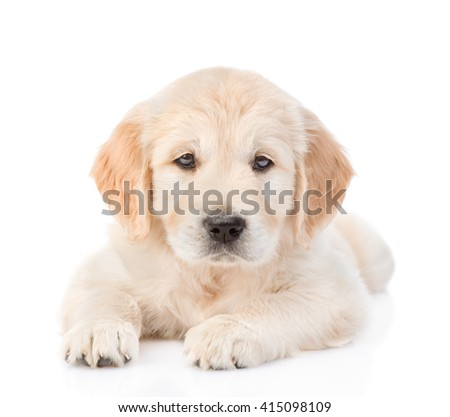 Golden Retriever puppy lying in front view. isolated on white background
