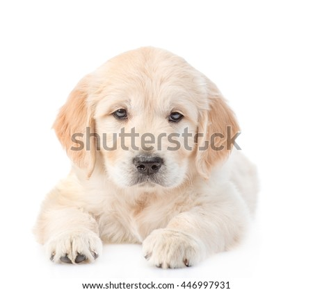 Golden Retriever puppy lying in front view. isolated on white background - stock photo