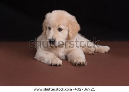 Golden Retriever Puppy Lying on Dark Background - stock photo