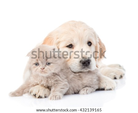 Golden retriever puppy lying with kitten. isolated on white background - stock photo
