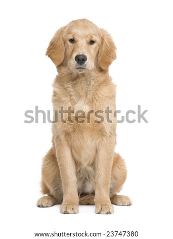 Golden Retriever puppy (5 months) facing the camera  in front of a white background