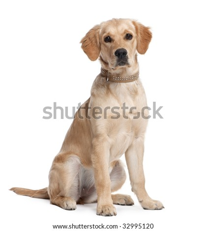 Golden Retriever puppy (5 months old) in front of a white background - stock photo