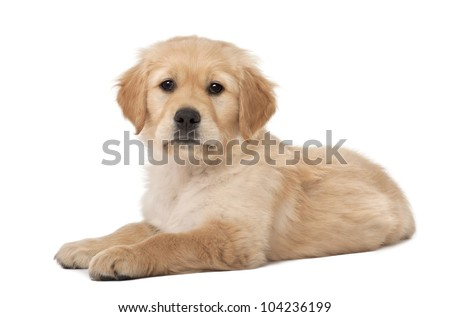 Golden Retriever puppy, 2 months old, lying against white background - stock photo