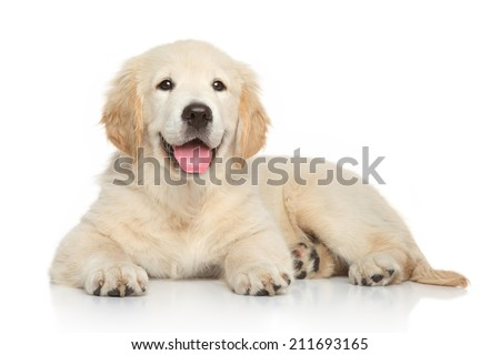 Golden Retriever puppy, 3 months old, lying on white background - stock photo