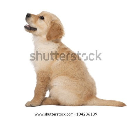 Golden Retriever puppy, 2 months old, sitting against white background - stock photo