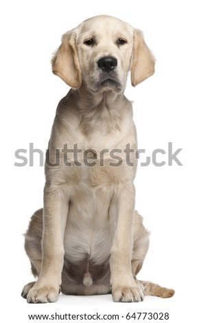Golden Retriever puppy, 5 months old, sitting in front of white background