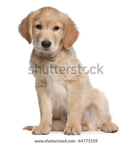 Golden Retriever puppy, 2 months old, sitting in front of white background - stock photo