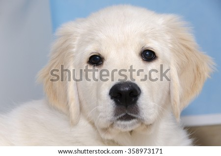 Golden Retriever puppy of three months