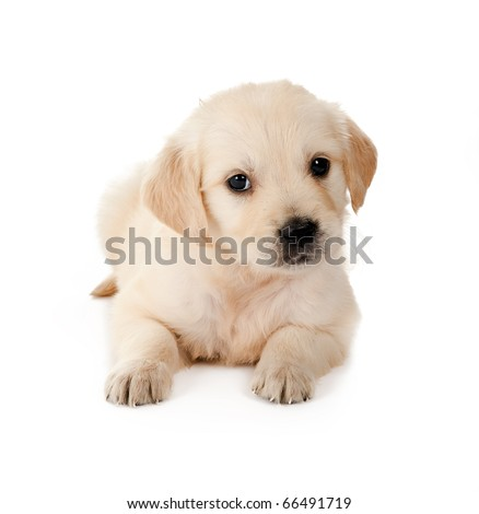Golden retriever puppy of 6 weeks old on a white background