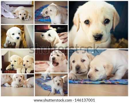 Golden retriever puppy of 7 weeks old. Set, Collage - stock photo