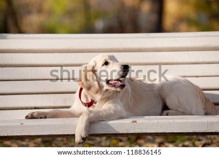 golden retriever puppy on a bench - stock photo