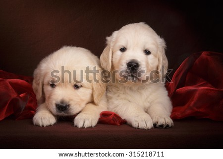 Golden retriever puppy on dark brown background with royal red organza fabric - stock photo