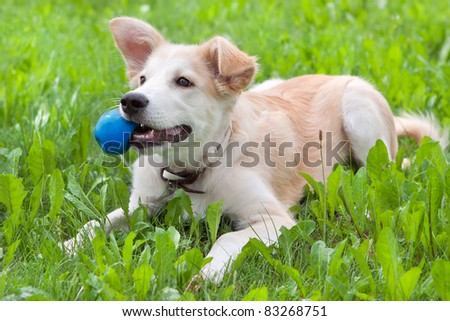 golden retriever puppy on the grass with the ball in his teeth - stock photo