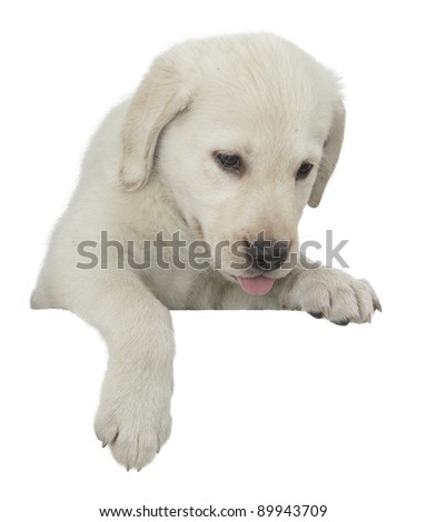 Golden retriever puppy on white background on white fence - stock photo