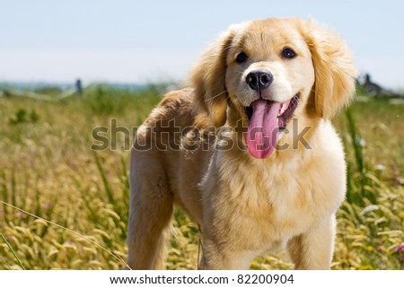 Golden Retriever puppy outside in nature