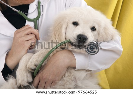 golden retriever puppy playing with a stethoscope vet
