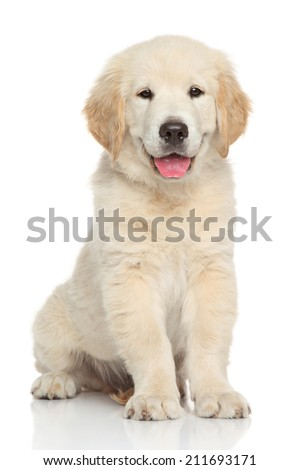 Golden retriever puppy. Portrait on white background - stock photo
