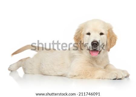 Golden Retriever puppy posing on white background - stock photo