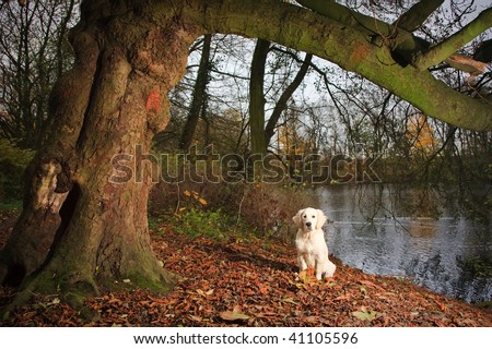 Golden Retriever Puppy posing under a tree in nature with lots of autumn leafs - stock photo
