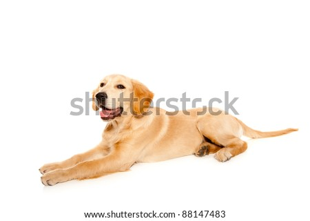Golden retriever puppy purebred dog isolated on white - stock photo