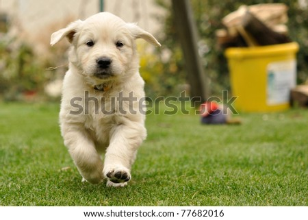 Golden retriever puppy run from front view - stock photo
