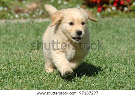 Golden Retriever puppy running - stock photo