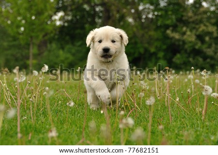 Golden retriever puppy running between dandelions - stock photo