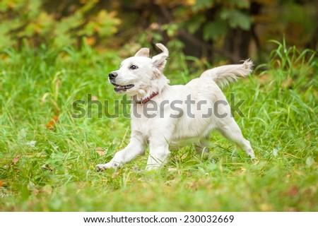 Golden retriever puppy running in the grass - stock photo