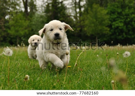 Golden retriever puppy running outdoor - stock photo