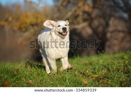 golden retriever puppy running outdoors