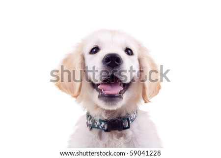 golden retriever puppy's cute face and eyes over white - stock photo