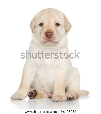 Golden Retriever puppy sits. Portrait on a white background - stock photo