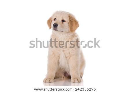 Golden Retriever puppy sitting - stock photo