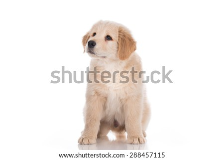 Golden retriever puppy sitting and looking up - stock photo