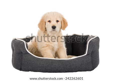 Golden Retriever puppy sitting in basket isolated on white background - stock photo