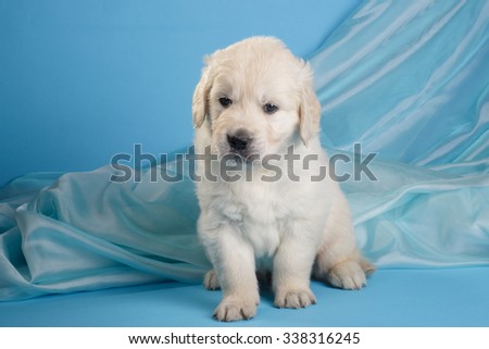 Golden retriever puppy sitting on blue background