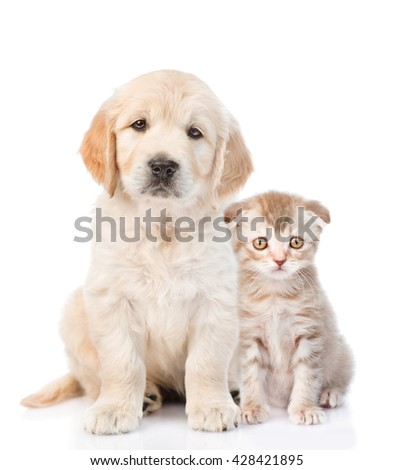 Golden retriever puppy sitting with a kitten. isolated on white background - stock photo