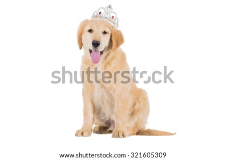 Golden retriever puppy sitting with crown looking straight isolated on white background - stock photo