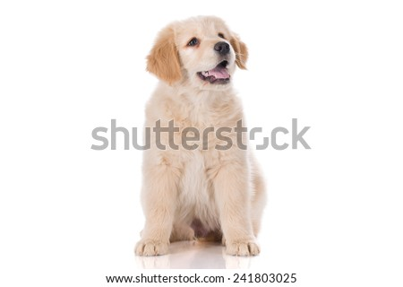 Golden Retriever puppy sitting with mouth semi open - stock photo